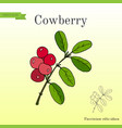 wild forest ripe cowberries and leaves vector image