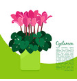 cyclamen plant in pot banner vector image vector image