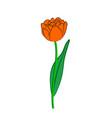 tulip flower vector image
