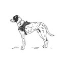 dalmatian dog drawing standing side view sketch vector image vector image