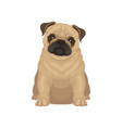 cute pug puppy sitting isolated on white vector image vector image