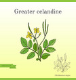 medicinal herb greater celandine vector image vector image
