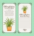 vintage label with chlorophytum plant vector image