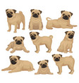 flat set of pug puppy in different poses vector image vector image