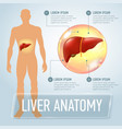 liver infographics banner vector image