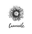 hand drawn camomile vintage sketch vector image