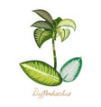 tropical plants with leaves exotic diffenbachia vector image