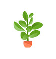 houseplant ficus vector image vector image