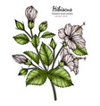 white hibiscus flower and leaf drawing with line vector image
