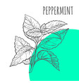 peppermint sketch botanical herb spice vector image