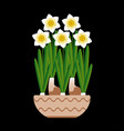 narcissus bloom in a ceramic pot black background vector image vector image