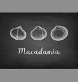 chalk sketch of macadamia vector image vector image