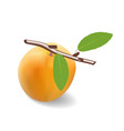 apricot fruit with a branch and two leaves vector image