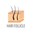 hair follicle skin structure vector image