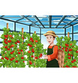 farmer harvesting tomatoes vector image