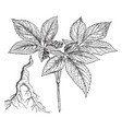 ginseng branch and root vintage vector image vector image