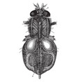 organs of circulation and breathing in an insect vector image vector image