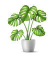 realistic monstera in a flower pot vector image vector image