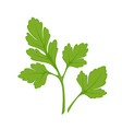 fresh green parsley isolated on white close up vector image