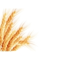 Golden wheat ear after the harvest EPS 10 vector image