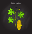 bitter melon or balsam-pear momordica charantia vector image vector image