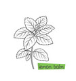 lemon balm bunch vector image vector image