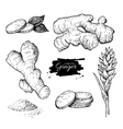 Ginger set Root ginger pieces and flower vector image vector image