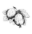 hand drawn sketch of gooseberry in black isolated vector image vector image