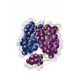 Red Grapes isolated vector image