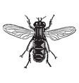 species of helophilus vintage vector image vector image