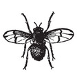 male horse fly estrus equi vintage vector image vector image