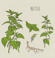 nettle medical botanical isolated vector image