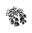 hand drawn berries raspberries branch han vector image vector image