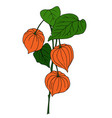 physalis isolated on white vector image