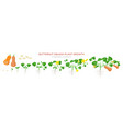 butternut squash plant growth stages infographic vector image vector image