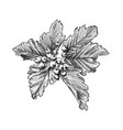 sketch of rowan or ash berry with branch leaves vector image