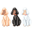 three poodle dogs with different fur colors vector image
