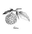 hand drawn of pindaiva fruits on white background vector image vector image