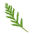 thuja branch vector image
