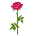 red rose flower with green leaves and stem vector image vector image