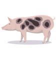 pietrain pig cartoon vector image vector image