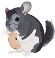 cartoon grey chinchilla vector image vector image