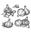 hand drawn garlic bulb and vegetable slices vector image