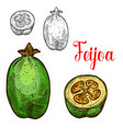 feijoa sketch fruit cut icon vector image