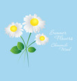 daisy flowers on a blue background template vector image
