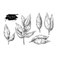 Bay leaf hand drawn Isolated vector image vector image