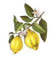 hand drawn blooming lemon branch with ripe fruits vector image vector image