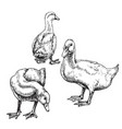 hand drawn ducks sketch vector image vector image