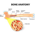 bone anatomy vector image