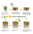 life of a bean plant education info graphic vector image vector image